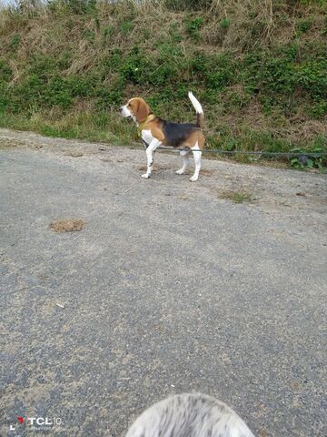 Beagle - foto 1