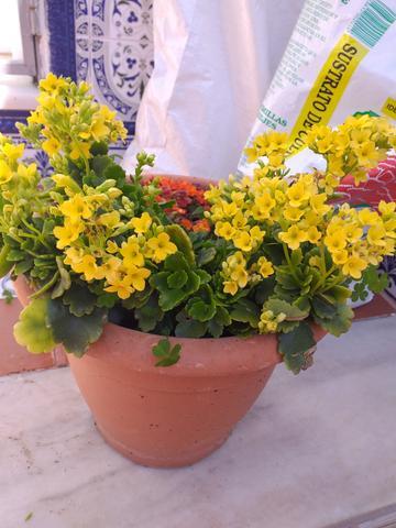 Maceta con planta kalanchoe dos colores - foto 1