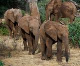 Soñar Con Tres Elefantes Bebes - foto