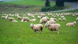 Que Significa Soñar Con Ovejas Pastando - foto