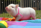 COMPRO/ADOPTó CERDITO MINI PIG